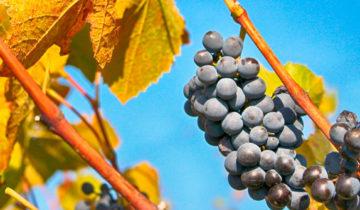 ¿Sabes cuáles son las variedades de uvas más utilizadas para el vino tinto?